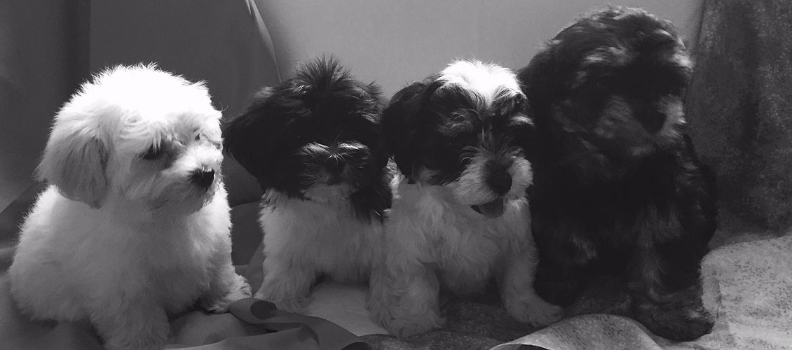 Havanese puppies in New York State