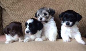 puppies pat balck and white